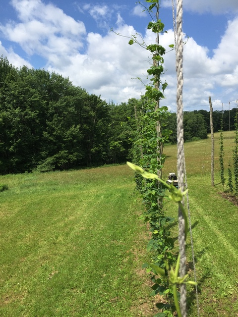 3/4 of the Hops Have Topped out