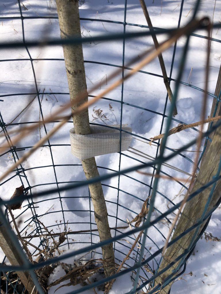 Tying Up the Black Locust Seedlings